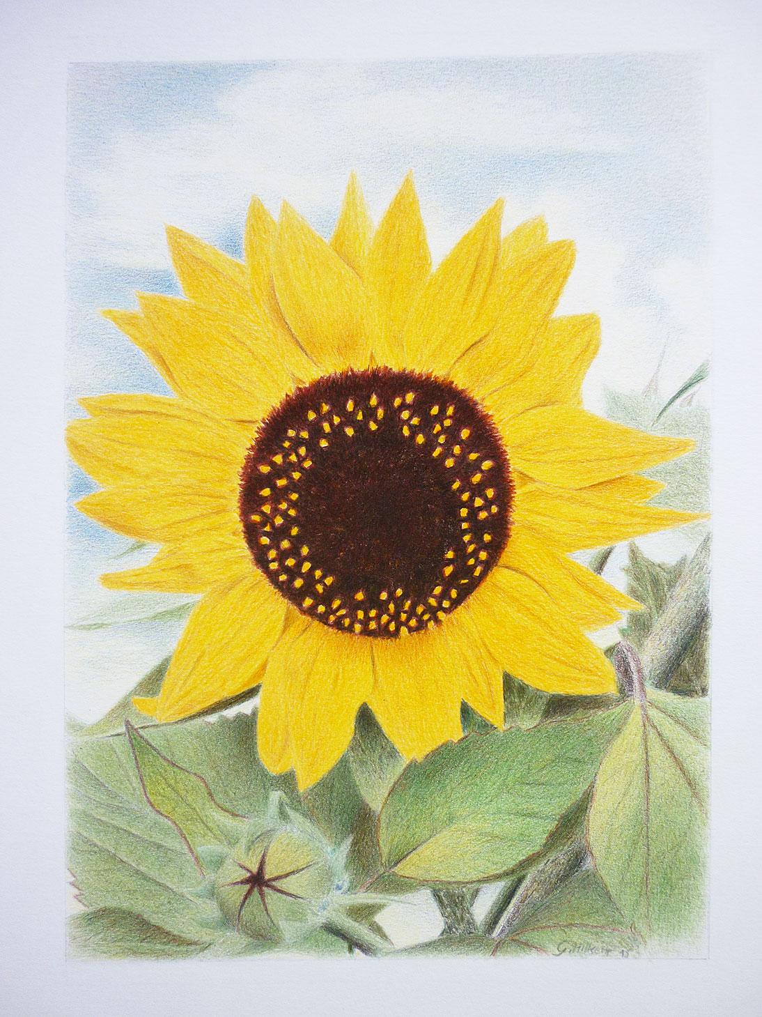 Sonnenblume Kontakt