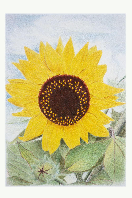 Sonnenblume Ansicht